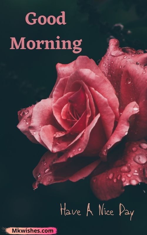 Beautiful good morning have a nice day with rose