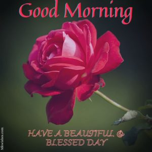 good morning image with red rose